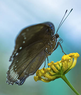 Photograph - Butterfly On A Flower by Zoe Ferrie