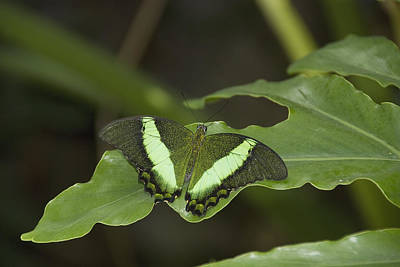 Butterfly On A Green Leaf Niagara Falls Art Print by Philippe Widling
