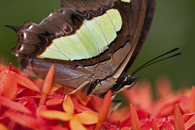 Photograph - Butterfly On An Ixora by Zoe Ferrie