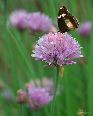 Photograph - Butterfly On Clover by Diana Haronis