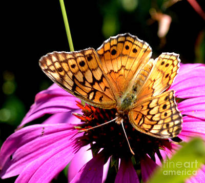Butterfly On Coneflower-05 Art Print by Eva Thomas