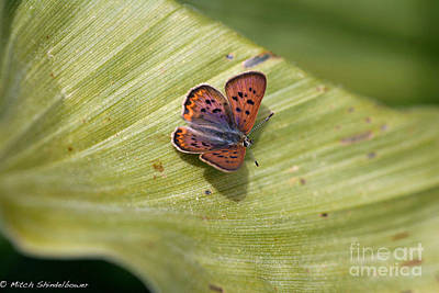Art Print featuring the photograph Butterfly On Cornflower Leaf by Mitch Shindelbower