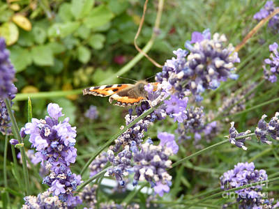 Photograph - Butterfly On Lavendula by Eva-Maria Di Bella