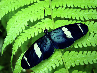 Butterfly On Leaf. Art Print by Kryssia Campos