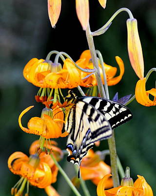 Photograph - Butterfly On Lily by Scott Gould
