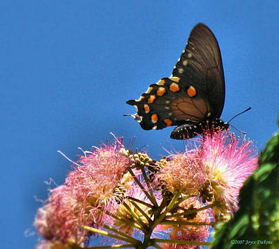 Photograph - Butterfly On Mimosa Blossom by Joyce Dickens