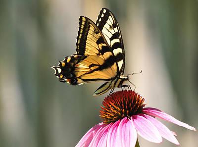 American Milestones - Tiger Swallowtail Butterfly on Purple Coneflower by David Halperin