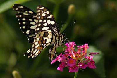 Photograph - Butterfly by Ramabhadran Thirupattur