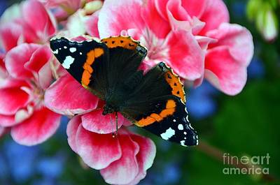 Butterfly Red Admiral Art Print