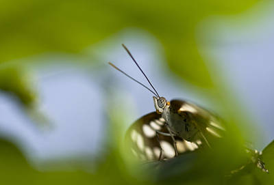 Photograph - Butterfly Through A Leaf by Zoe Ferrie