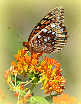 Butterfly Weed 1 Art Print by Marty Koch