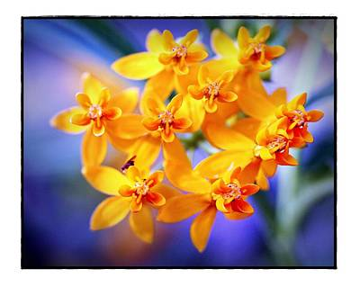 Butterfly Weed Art Print by Judi Bagwell
