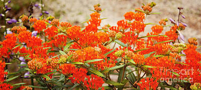Photograph - Butterfly Weed by Lena Auxier