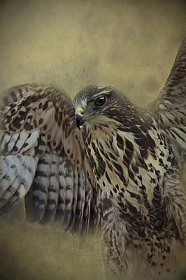 Print featuring the photograph Buzzard Preparing To Fly by Ethiriel  Photography