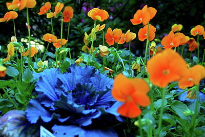 Photograph - Cabbage And Viola's by Laura  Grisham