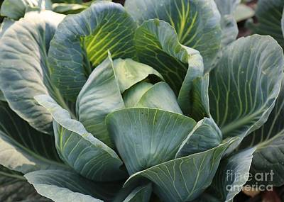 Food And Beverage Royalty-Free and Rights-Managed Images - Cabbage in the Vegetable Garden by Carol Groenen