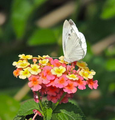 Photograph - Cabbage White Butterfly by Eve Spring
