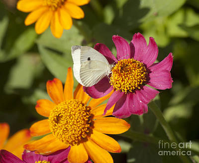 Photograph - Cabbage White Butterfly On Zinnia by Jim And Emily Bush