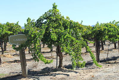 Photograph - Cabernet Vines At Ponte Winery by Pamela Walrath