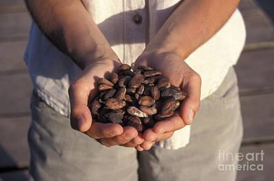 Photograph - Cacao Beans Bocas Del Toro Panama by John  Mitchell