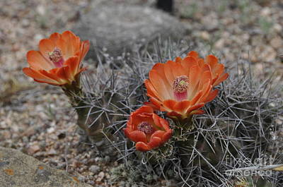 Photograph - Cactus Beauty by Cheryl McClure