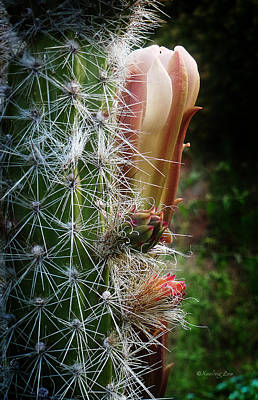 Photograph - Cactus Blossom 9 by Xueling Zou