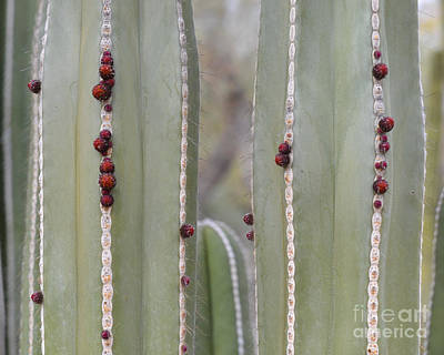 Cactus Buds Art Print