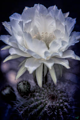 Photograph - Cactus Flower by Chris Lord