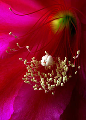 Photograph - Cactus Flower Interior by Nancy Griswold