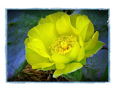 Cactus Flower Art Print by Judi Bagwell