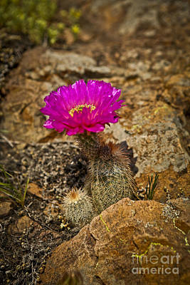 Photograph - Cactus Flower Pink by Royce  Gideon