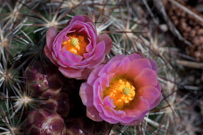 Photograph - Cactus Flowers by G Wigler