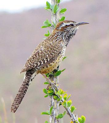 Cactus Wren Art Print by FeVa  Fotos