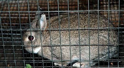 Rabbit Photograph - Caged Rabbit by LeeAnn McLaneGoetz McLaneGoetzStudioLLCcom