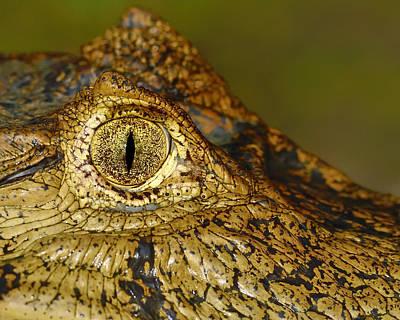 Alligator Lizards Photograph - Caiman Tears by Tony Beck