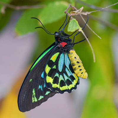 Photograph - Cairns Birdwing by Joann Vitali