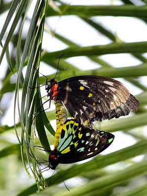 Photograph - Cairns Birdwing by Peggy King