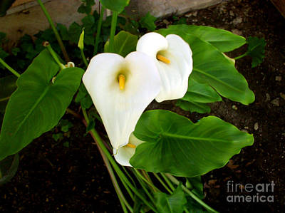Cala Lily Art Print by The Kepharts