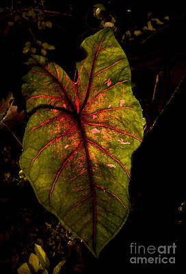 Caladiums Photograph - Caladium At Night by Glennis Siverson