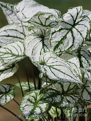 Photograph - Caladium Named White Christmas by J McCombie