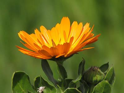 Photograph - Calendula Bloom by Bonnie Muir