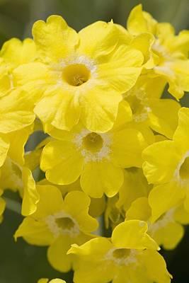 Primula Auricula Photograph - Calgary, Alberta, Canada Yellow Primula by Michael Interisano