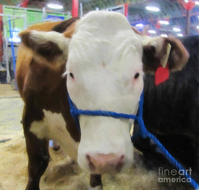 Photograph - Calgary Stampede Cow by Donna Munro