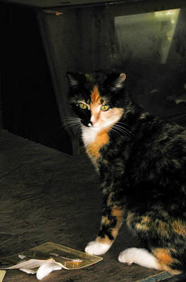 Photograph - Calico Cat by Marilyn Marchant