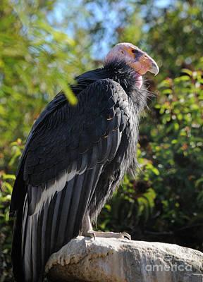 Condor Wall Art - Photograph - California Condor by Marc Bittan
