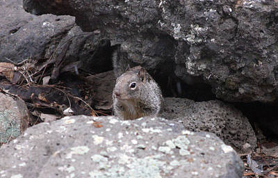Photograph - California Ground Squirrel - 0001 by S and S Photo