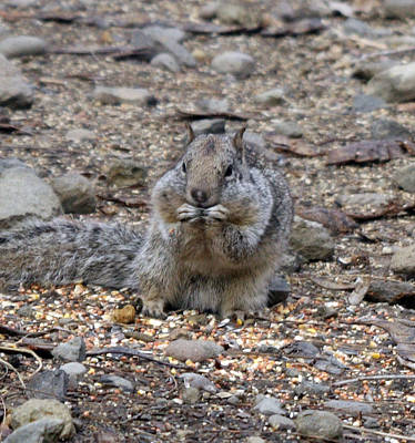 Photograph - California Ground Squirrel - 0002 by S and S Photo
