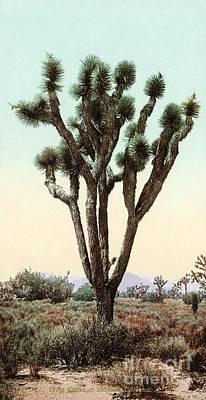 Photograph - California: Joshua Tree by Granger