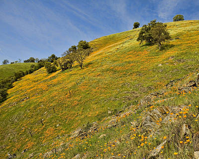 Photograph - California Mountain Poppies by Gregory Scott