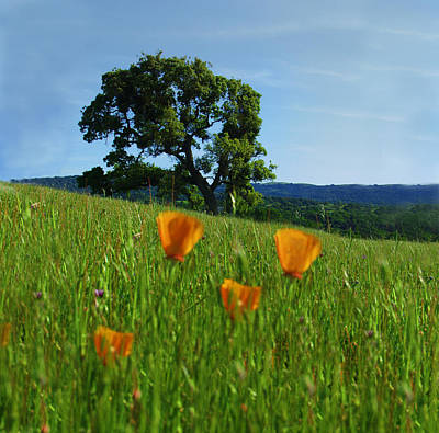 Photograph - California Oak And Poppies by C Ribet